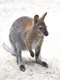 Red-necked Wallaby (Macropus rufogriseus) Stock Photos