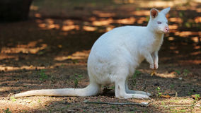 Red - necked Wallaby ( Macropus rufogriseus ) at ZOO Zlin , Czech republic. Albino of Red - necked Wallaby ( Macropus rufogriseus ) at ZOO Zlin in Czech republic Stock Image