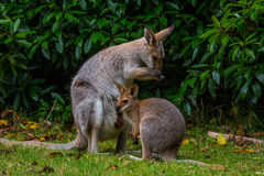 Red-necked Wallaby. Mother and Joey on the alert on a clearing in Bunya Mountains, QLD, Australia Stock Image