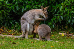 Red-necked Wallaby. Mother and Joey on the alert on a clearing in Bunya Mountains, QLD, Australia Royalty Free Stock Photo