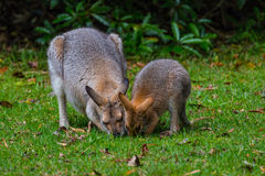 Red-necked Wallaby. Mother and Joey feeding on a clearing in Bunya Mountains, QLD, Australia Royalty Free Stock Photos