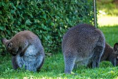 Macropus Rufogris. Red necked wallaby, Parc Phoenix,Nice, France stock image
