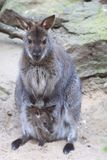 Red-necked wallaby Royalty Free Stock Images