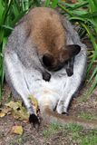 Red necked wallaby stock photos