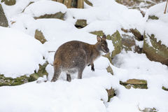Red-necked Wallaby in snowy winter Stock Photography