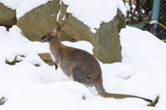 Red-necked Wallaby in snowy winter Stock Images
