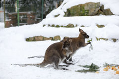 Red-necked Wallaby in snowy winter Royalty Free Stock Image