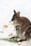 Red-necked Wallaby in snowy winter Royalty Free Stock Photography