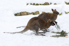 Red-necked Wallaby in snowy winter Royalty Free Stock Photos