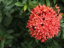 Red needle flower is blooming in the garden. So nice and so full form Royalty Free Stock Photos