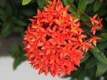 Red needle flower is blooming in the garden. In the summer Stock Photography