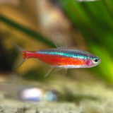 Red neon tetra Stock Images