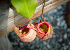 Red nepenthes Stock Photography