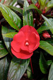 Red New Guinea impatiens flowers in pots Royalty Free Stock Photos