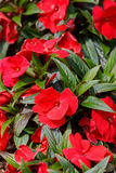 Red New Guinea impatiens flowers in pots Royalty Free Stock Images