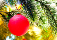 Red New Year's ball on a branch of a Christmas tree. Royalty Free Stock Photography