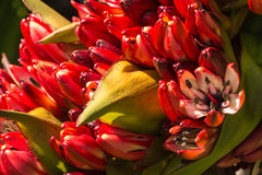 Red New Zealand flax flowers Royalty Free Stock Images