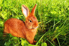 Red New Zealand rabbit in green grass.  Stock Image