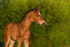 Red newborn colt Royalty Free Stock Photos