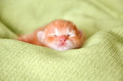 Red newborn kitten. Sleeping on a green blanket Stock Image