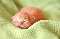 Red newborn kitten. Sleeping on a green blanket Royalty Free Stock Images