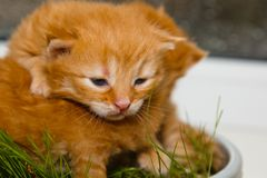 Red newborn kittens sitting in a bowl on a white table without a mother. small blind pets close up royalty free stock images