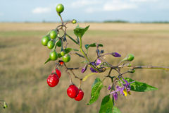 Red nightshade (Solanum dulcamara) Royalty Free Stock Photo