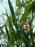 Red nightshade Solanum dulcamara. Can be used for healing Stock Images