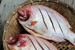 Red nile tilapia fish Stock Photos