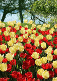 Red and nlight yellow tulips field Royalty Free Stock Photos