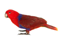 Red noble parrot Royalty Free Stock Image