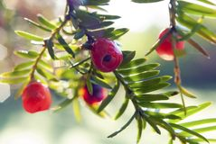 Yew tree fruits Stock Image