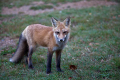 Red North American fox cub Stock Photos