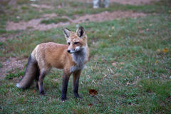 Red North American fox cub Royalty Free Stock Image