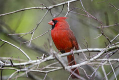 Red Northern Cardinal bird. Male Red Northern Cardinal bird, Cardinalis cardinalis, backyard birding, Athens, Georgia, USA Royalty Free Stock Images