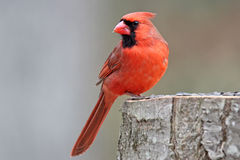 Red Northern Cardinal Royalty Free Stock Photo