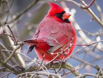 Red Northern Cardinal Perched On Branches. Bright red male Northern Cardinal side profile view while sitting on bare tree branches stock photos