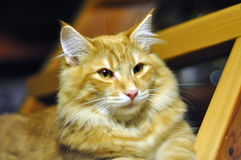 Red norwegian forest cat portrait Royalty Free Stock Image