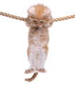 Red Norwegian forest kitten. Hanging on a rope royalty free stock photos