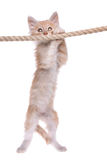 Red Norwegian forest kitten. Hanging on a rope stock images