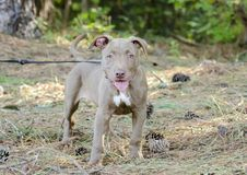 American Pitbull Terrier Puppy dog Royalty Free Stock Images