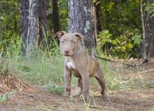 American Pitbull Terrier Puppy dog stock images