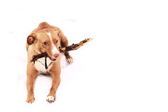 Red nose irish terrier dog gnaw chew stick. Red nose terrier dog gnau chew stick on the snow background Stock Photo