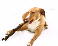 Red nose irish terrier dog gnaw chew stick. Red nose terrier dog gnau chew stick on the snow background Royalty Free Stock Images