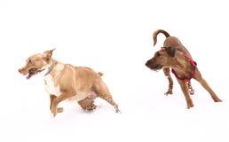 Red nose irish terrier dog gnaw chew stick Stock Image