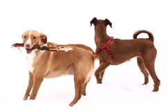 Red nose irish terrier dog gnaw chew stick Stock Photo