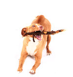 Red nose irish terrier dog gnaw chew stick. Red nose terrier dog gnau chew stick on the snow background Stock Image