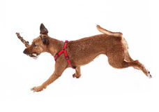 Red nose irish terrier dog gnaw chew stick Stock Images