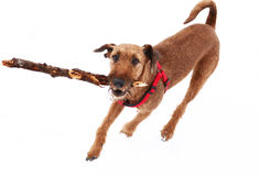 Red nose irish terrier dog gnaw chew stick. Play on the snow background Royalty Free Stock Photos