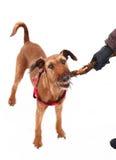 Red nose irish terrier dog gnaw chew stick Stock Photos